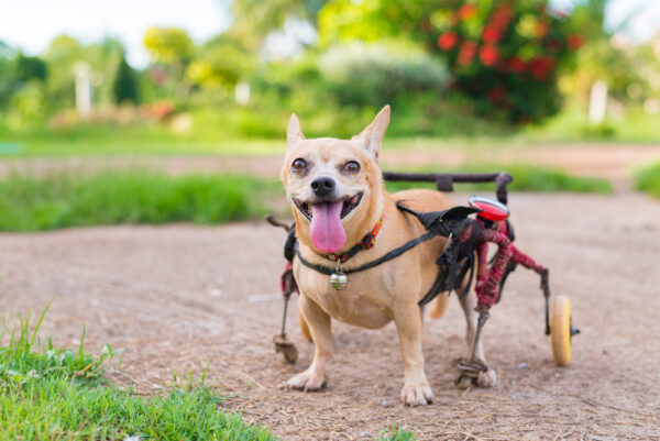 special needs dog with walker
